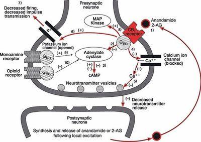 действуют эндоканнабиноидов
